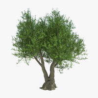 Olive Tree