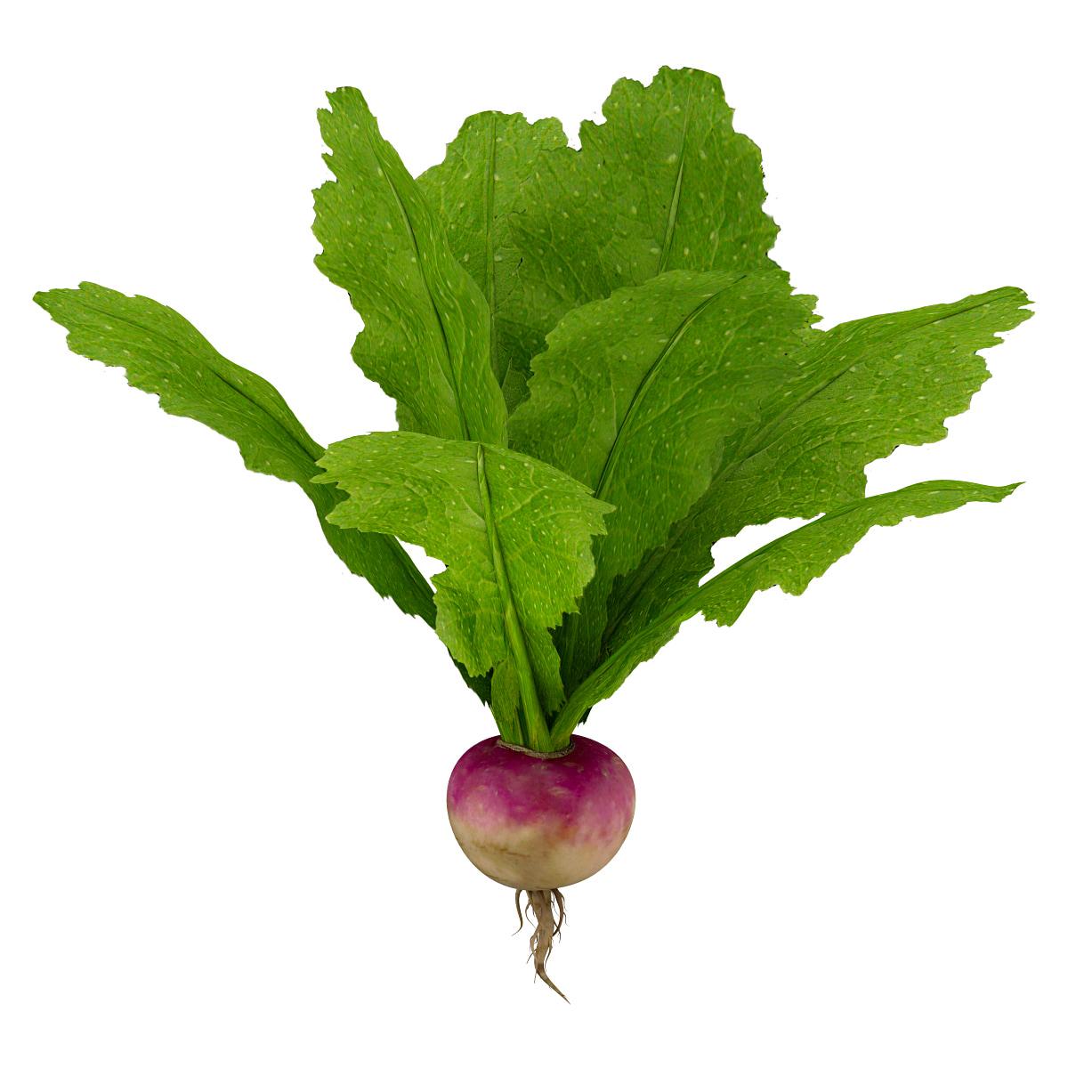 turnip vegetable modeled 3d max