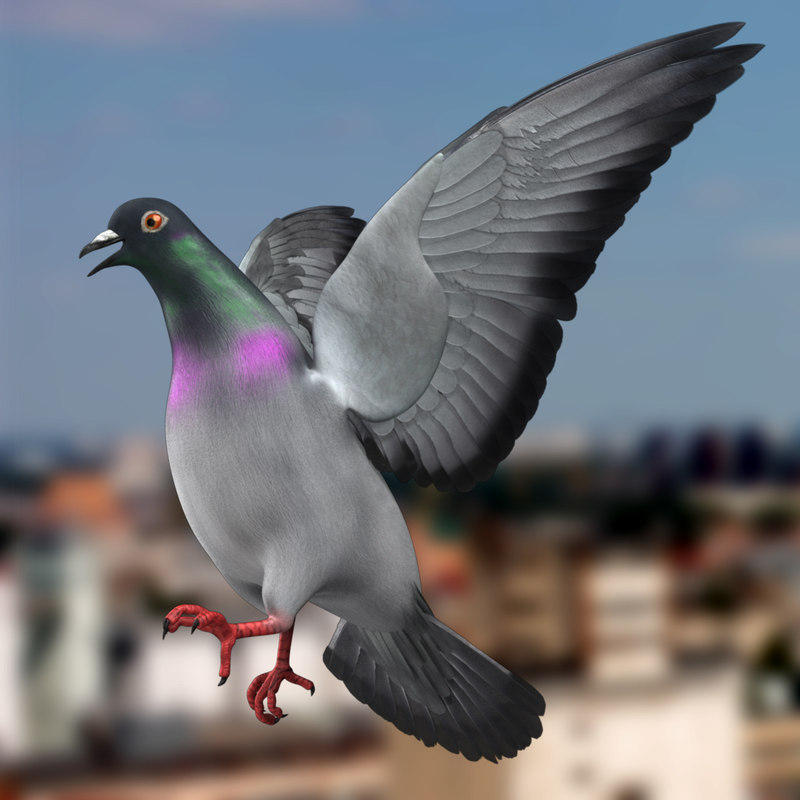 3d columba livia pigeon model