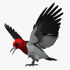 melanerpes erythrocephalus red-headed woodpecker 3d model