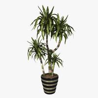 Indoor Plant Dracaena Lisa Cane