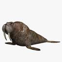 walrus 3D models