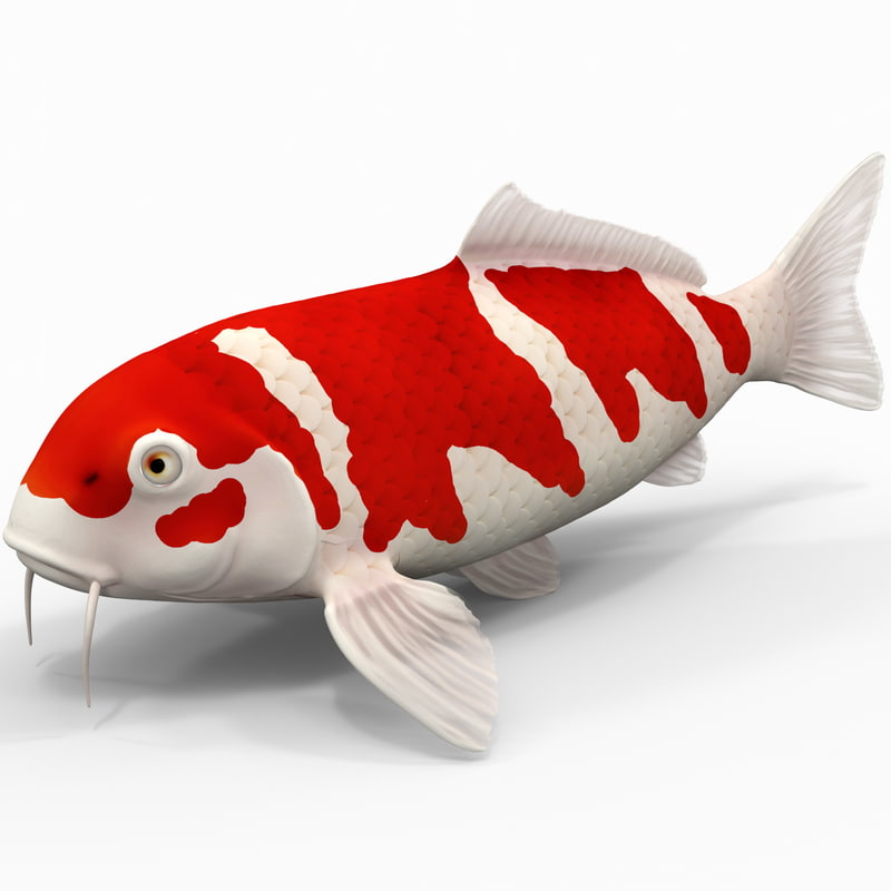 3d model koi fish for Koi fish pictures