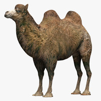 Camel Two Humps