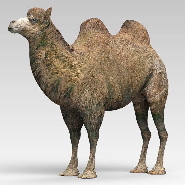 camel 2 3d model