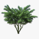 mexican fan palm 3D models