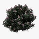 Oleander 3D models