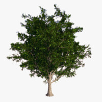 obj maple tree -