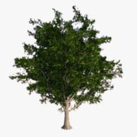 obj maple tree -