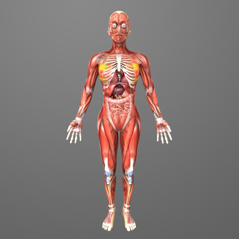 Human Female Anatomy Body 3d Model