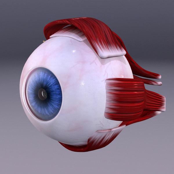 human eye 3d model