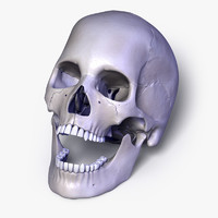 Human Skull with Separated Bones
