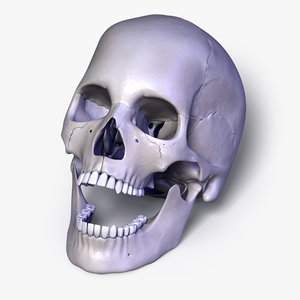 3d model human skull separated bones anatomy