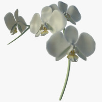 Moon Orchid - Phalaenopsis aphrodite