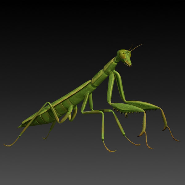 3d model realistic praying mantis