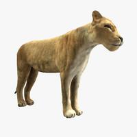 lioness lion 3d 3ds