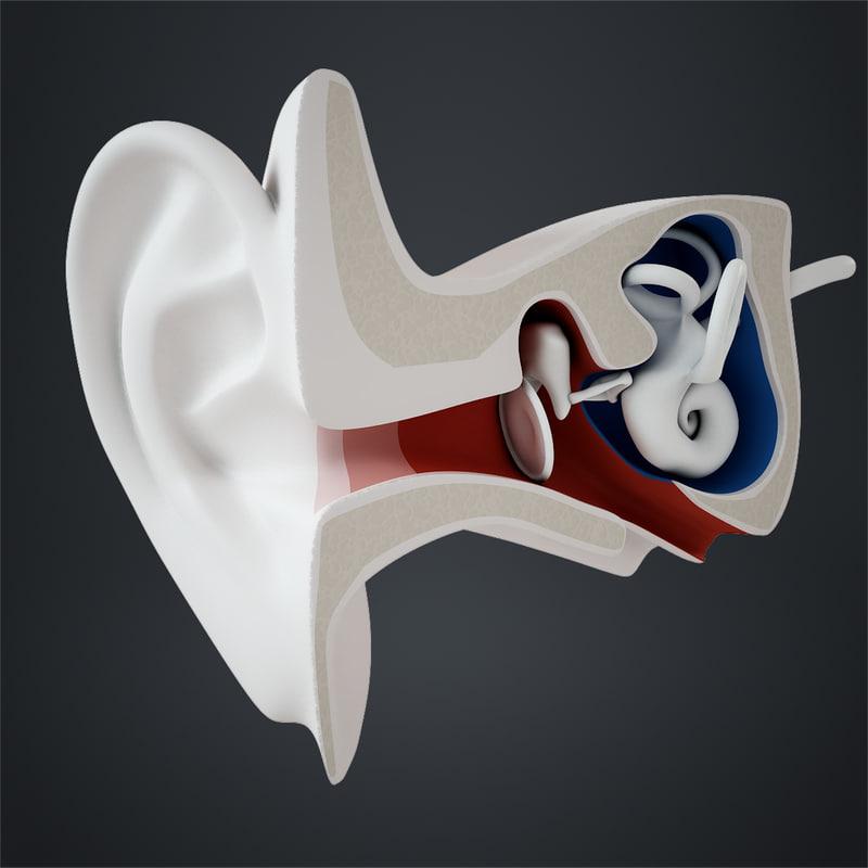 Human Ear Anatomy at