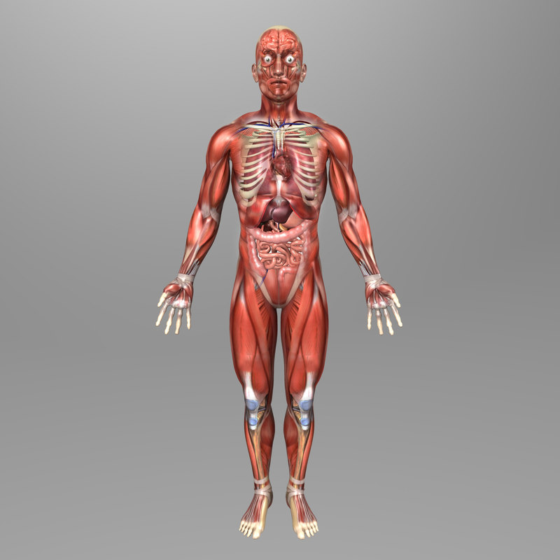 3d human male anatomy body