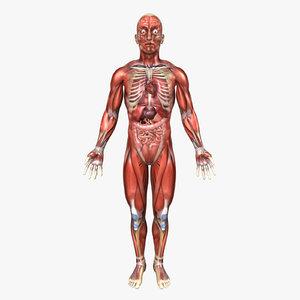 3d human male anatomy body