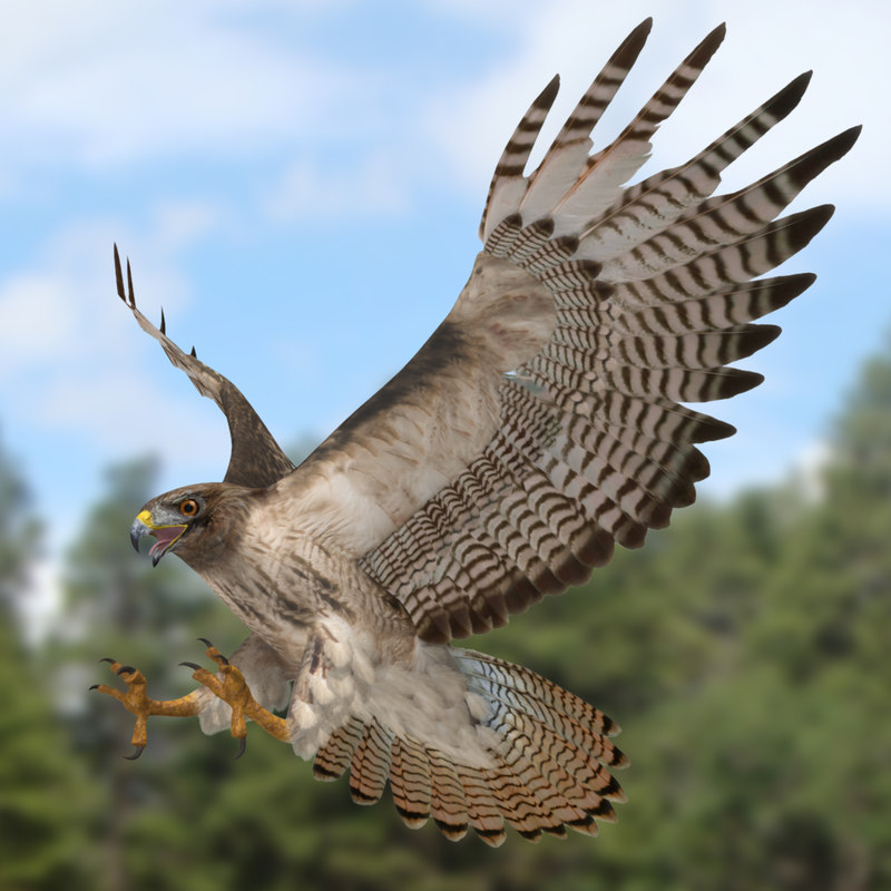 3d model buteo jamaicensis red-tailed hawk