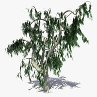 Acacia Salicina Tree