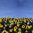 sunflower field 3D models