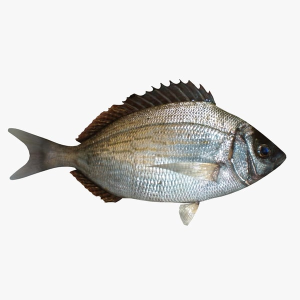 bream sea fish 3d model