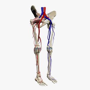 3d human pelvis legs