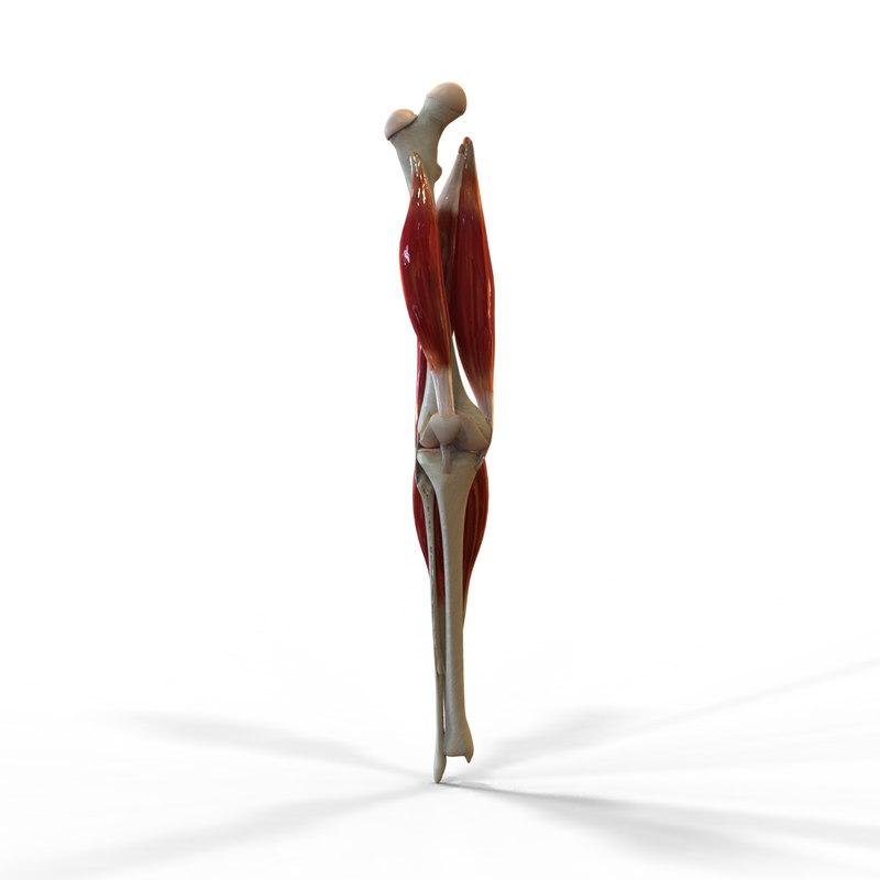 Moderno Human Knee Anatomy 3d Motivo - Imágenes de Anatomía Humana ...