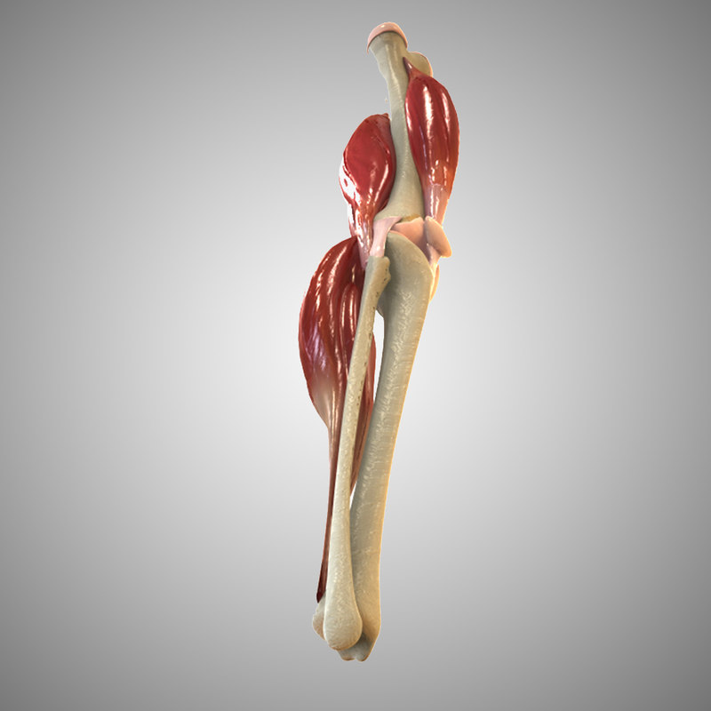 Knee Joint Anatomy Animation 3d Model
