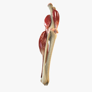 human knee joint anatomy animation 3d model