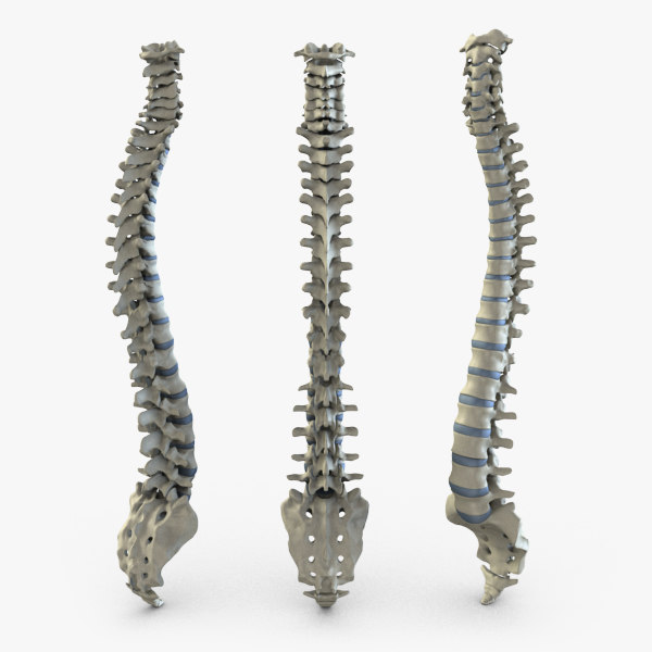 spine 3d models | turbosquid, Skeleton