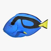 3d blue tang - paracanthurus