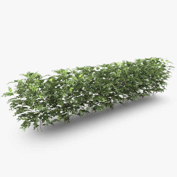 c4d casual common beech hedge