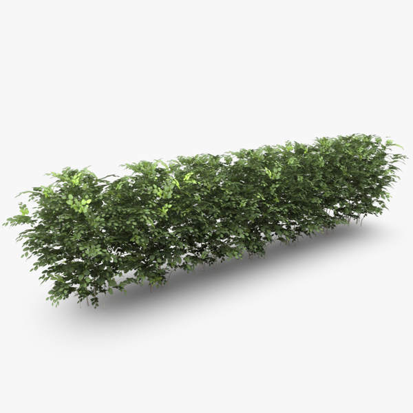 crowded common beech hedge 3d model