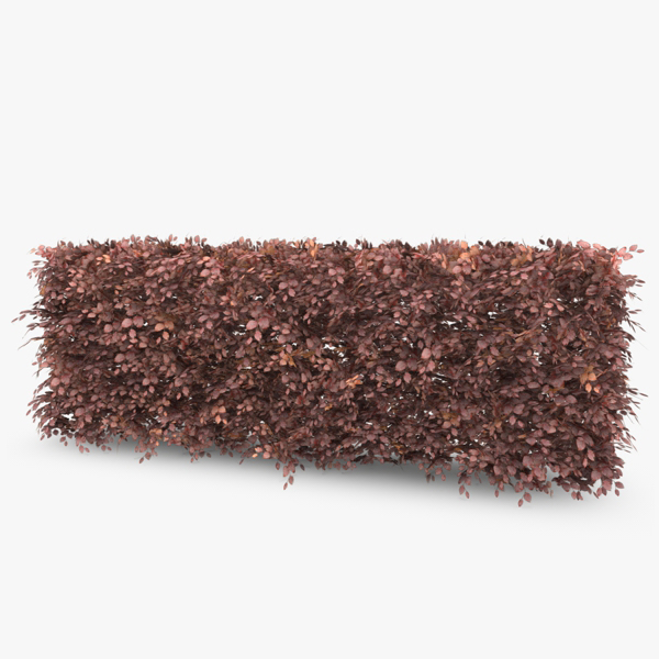 copper beech hedge 3d c4d