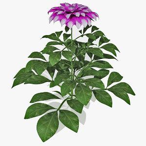 3d dahlias plant flower model