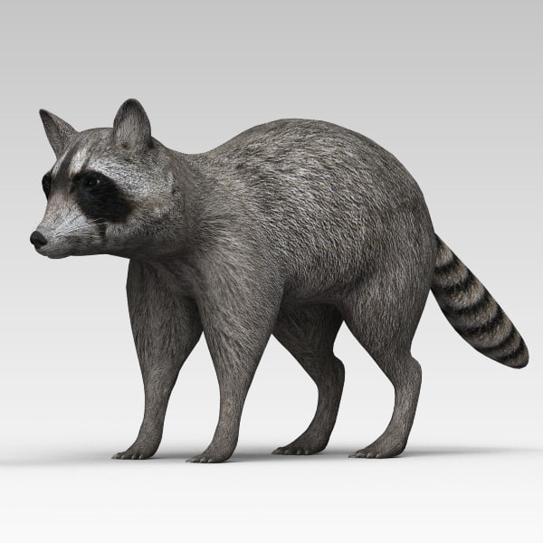 3d model of raccoon