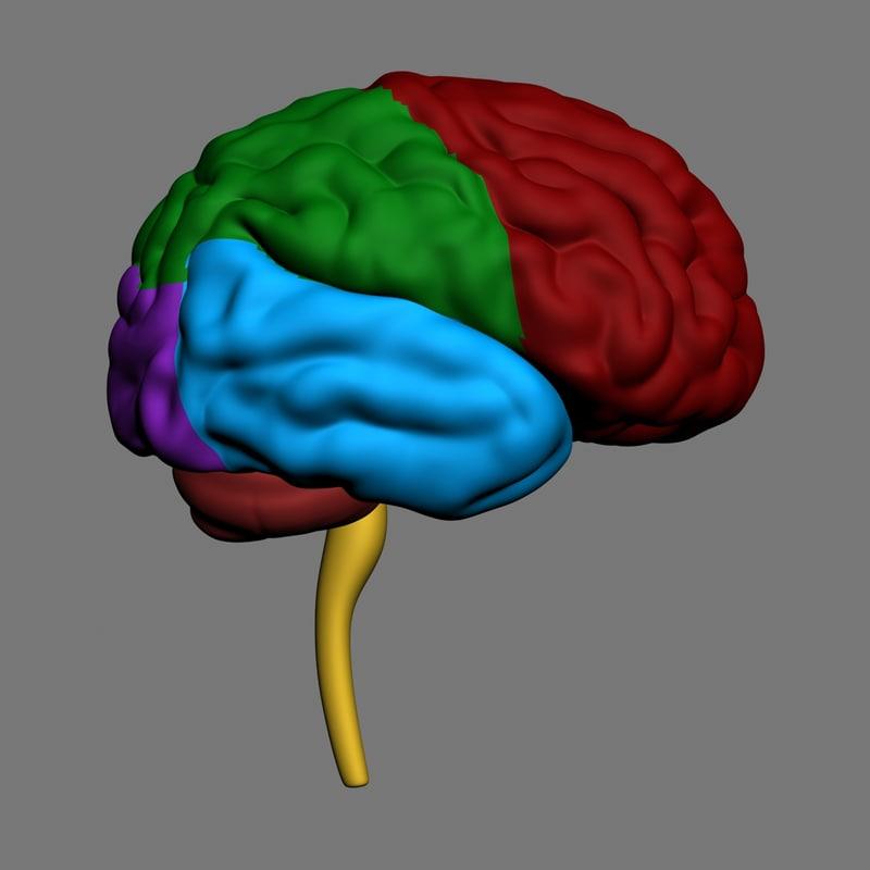 3d human brain