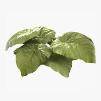 plant macaranga 3d model