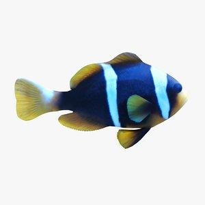 3d allard clownfish model