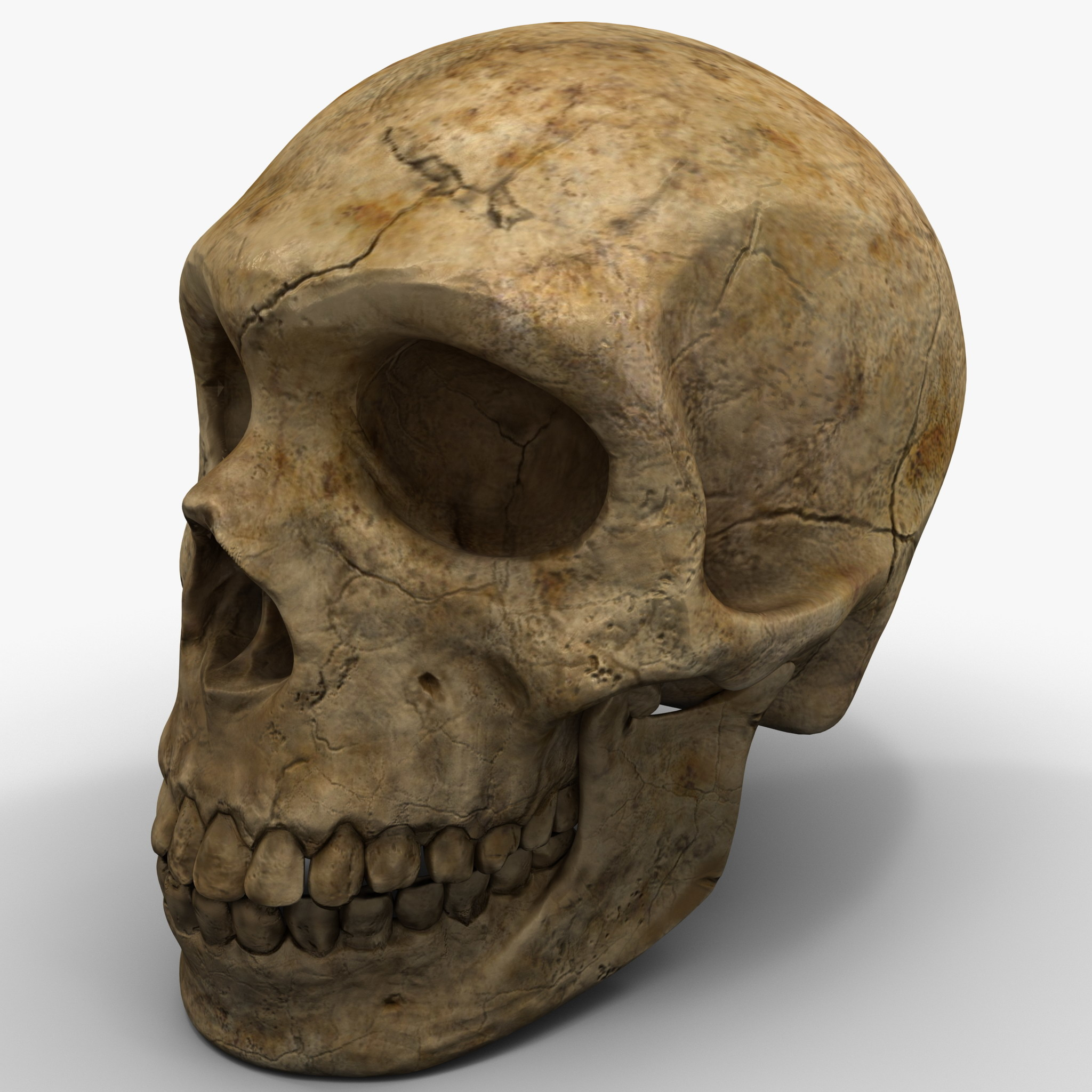 max neanderthal skull anatomy