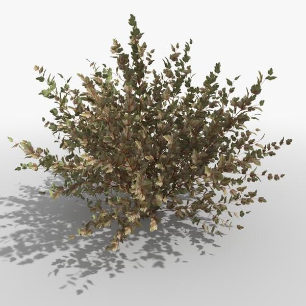 common physocarpus opolifolius 3ds
