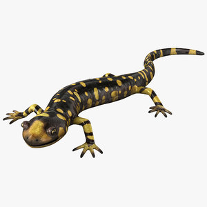tiger salamander pose 2 3d model