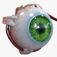 eye anatomy 3ds