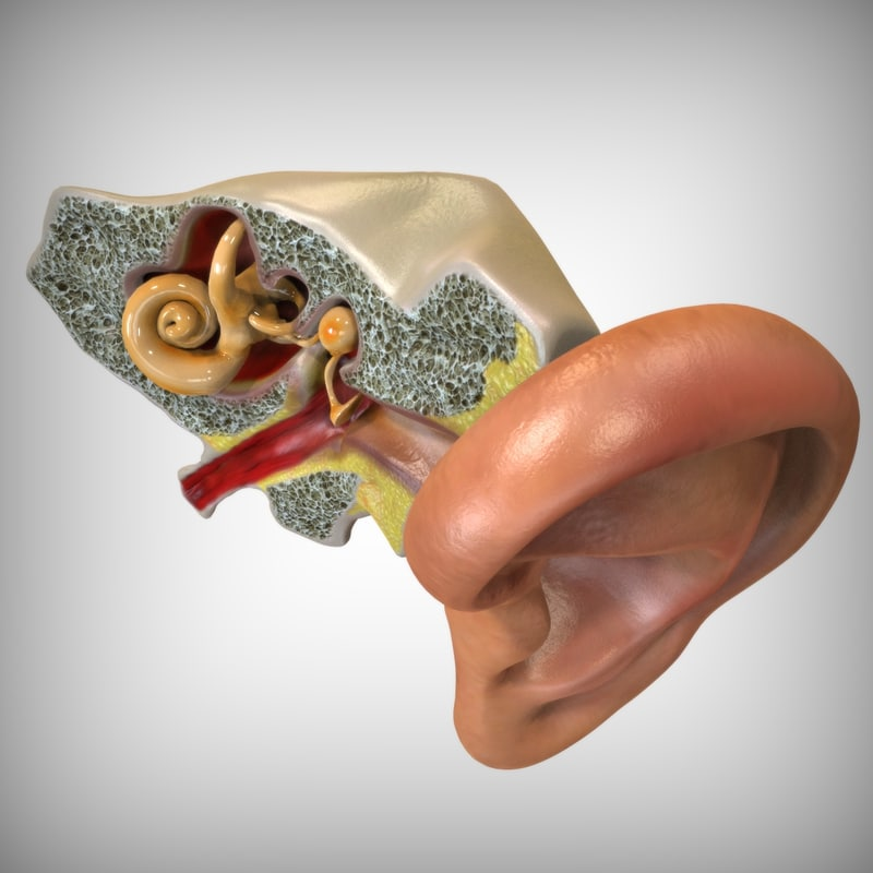3d human ear anatomy