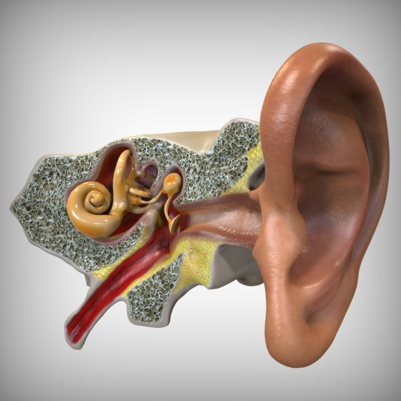Ear anatomy 3d