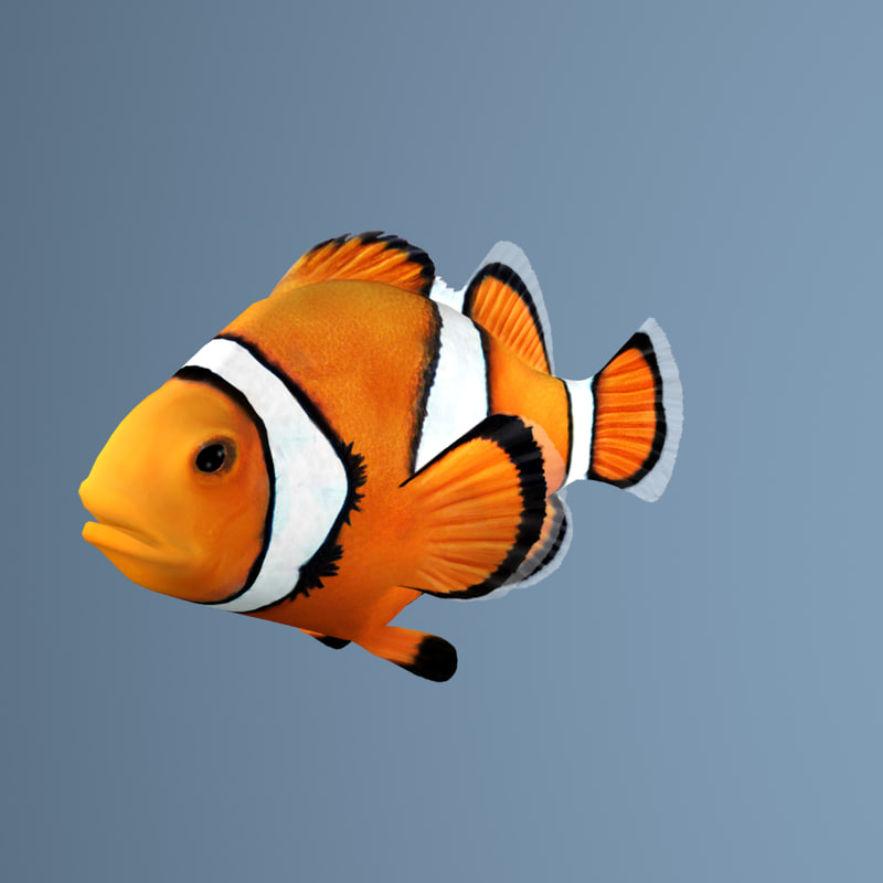 3d clownfish clown fish model for Clown fish for sale