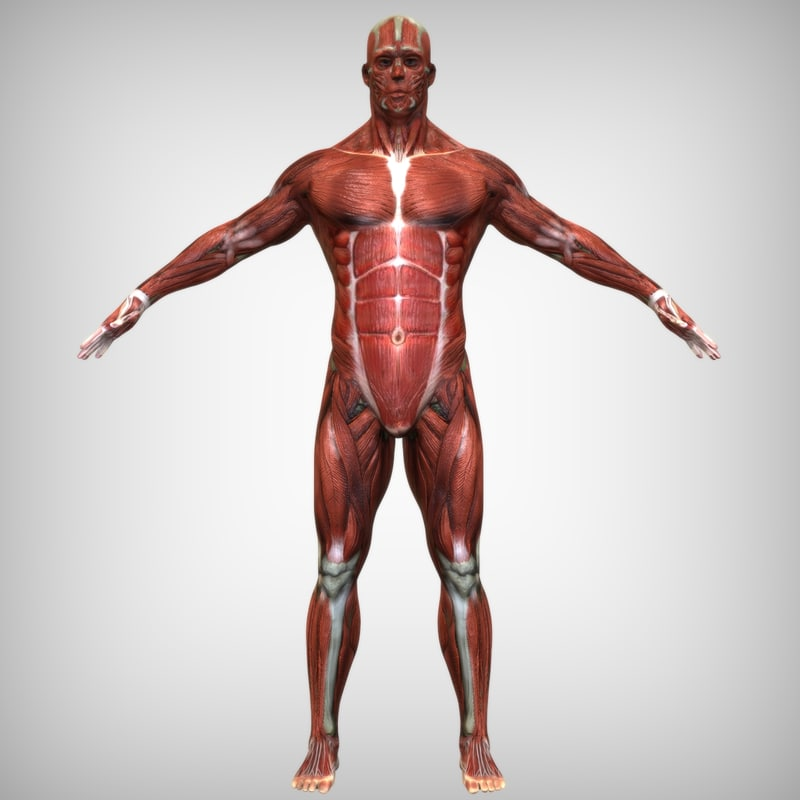 3d model human male body muscular, Muscles