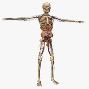 human male anatomy body 3d obj